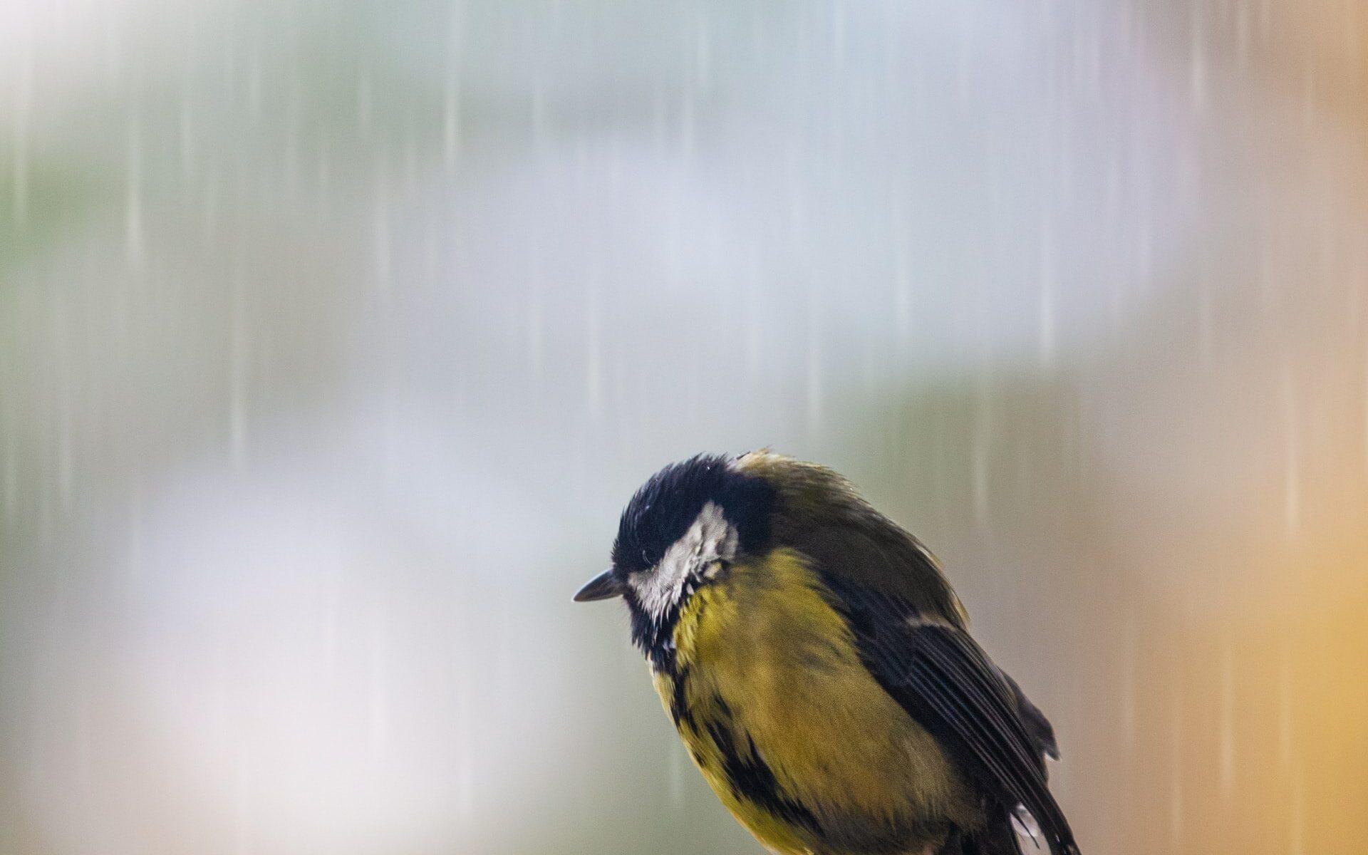 Wet bird in the rain